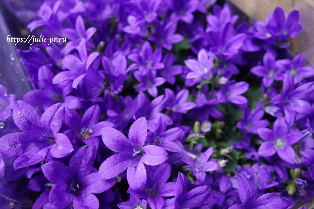 колокольчики, цветы