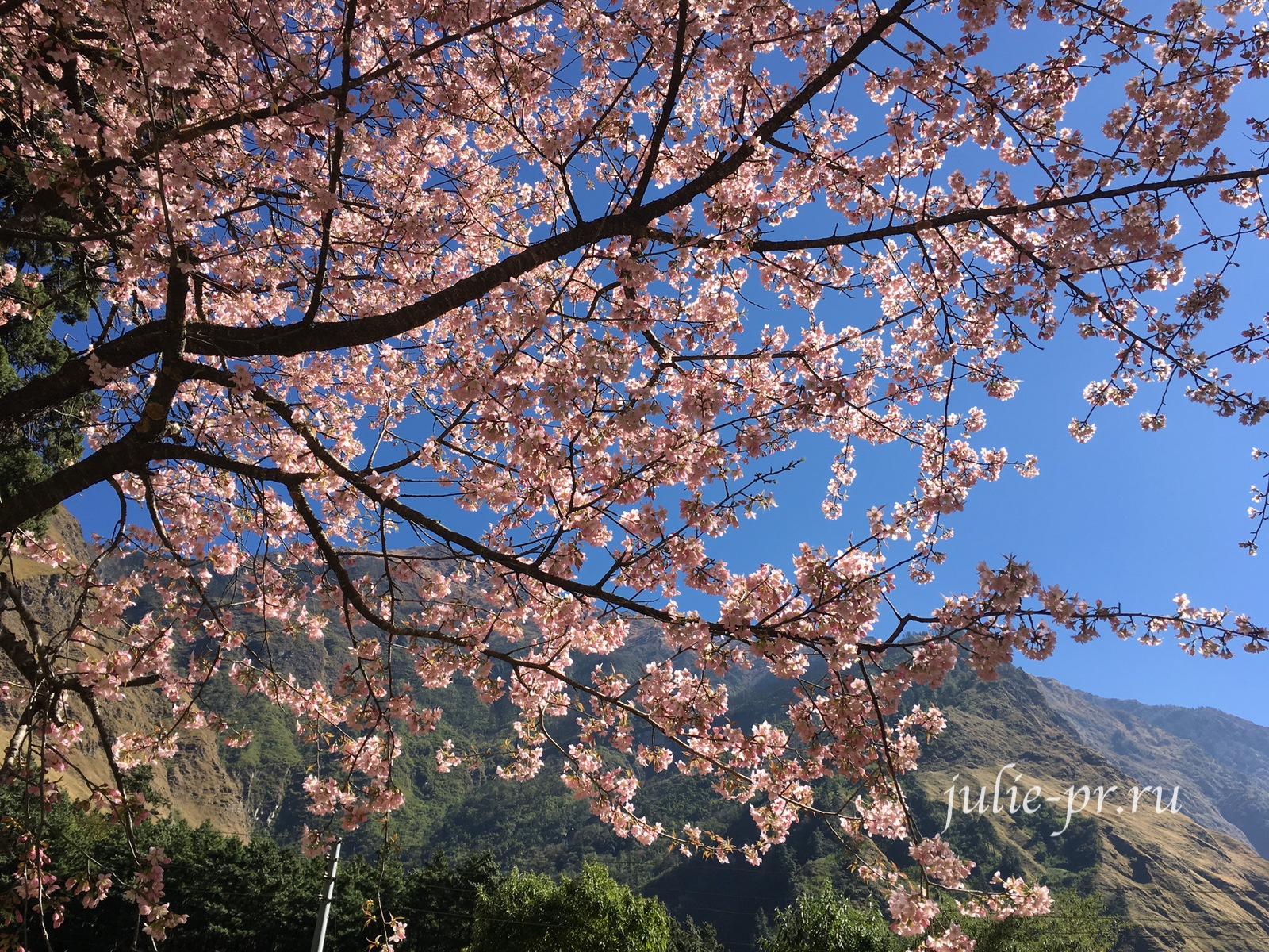 Непал, Трек вокруг Аннапурны, цветущее розовое дерево
