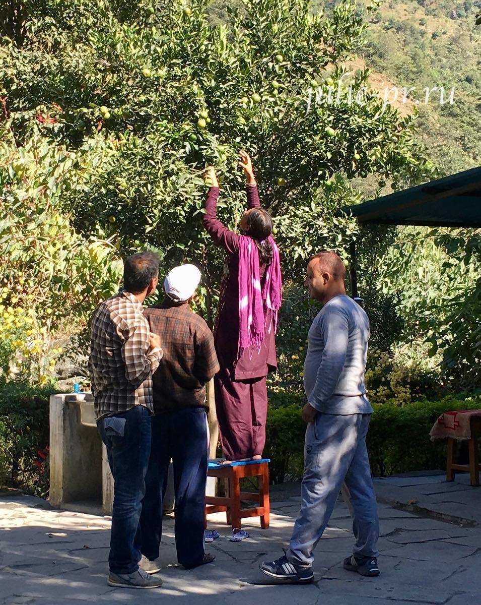 Непал, Трек вокруг Аннапурны, собирают лимоны