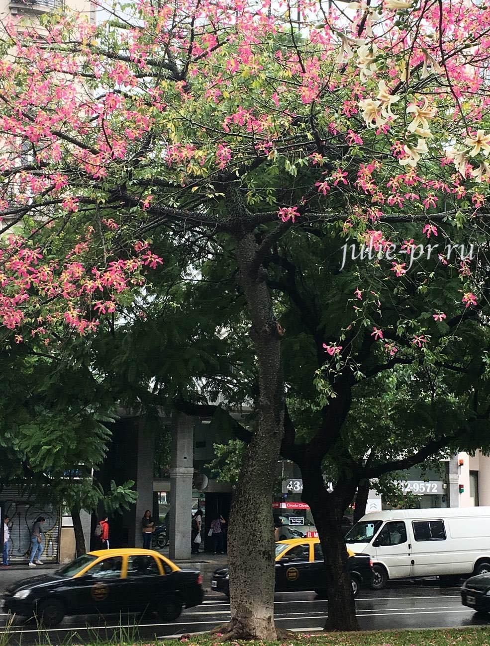 Аргентина, Буэнос-Айрес, Цветущее дерево