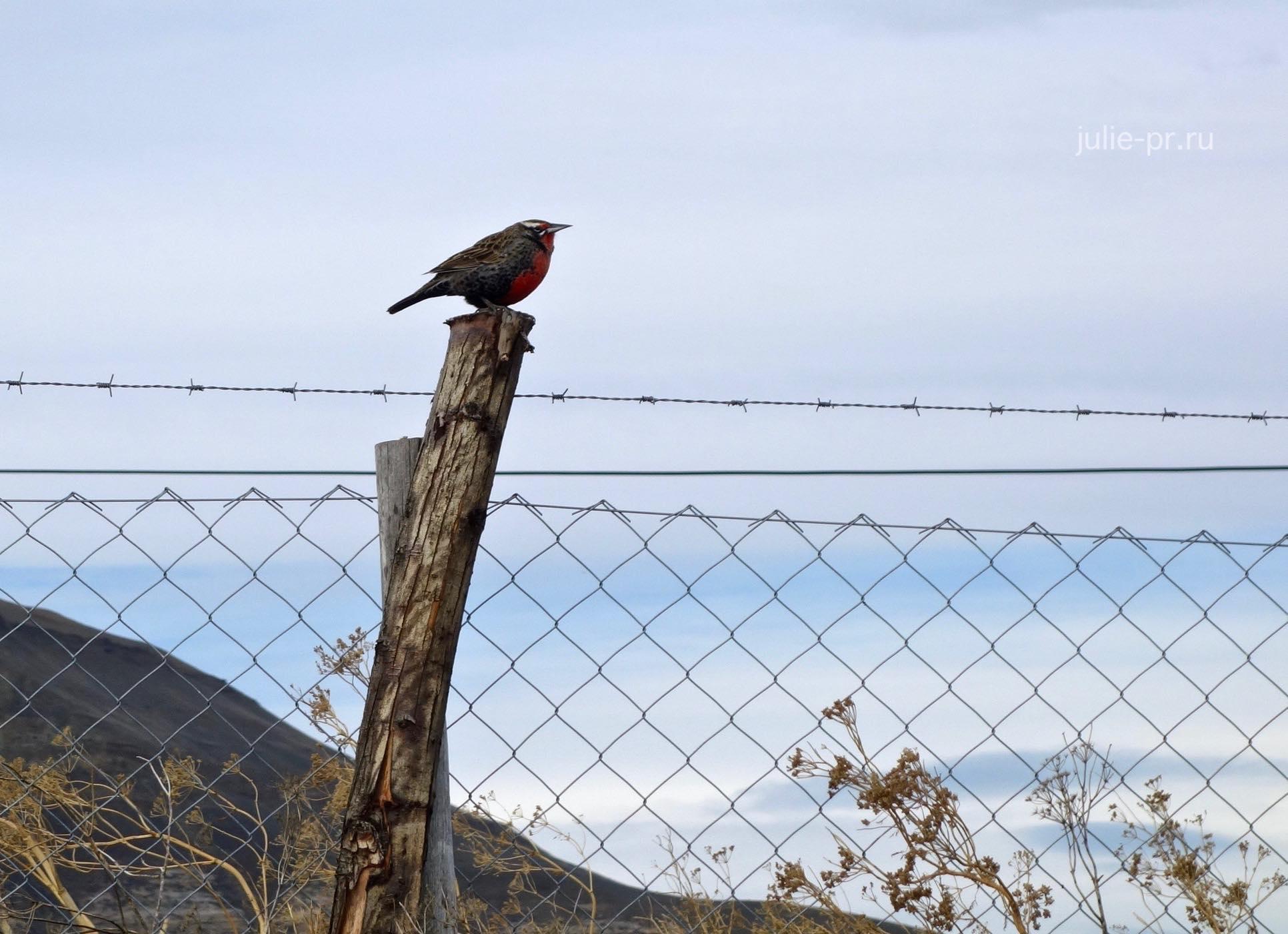 Аргентина, Патагония, Эль-Калафате, лагуна Нимез, птица, трупиал