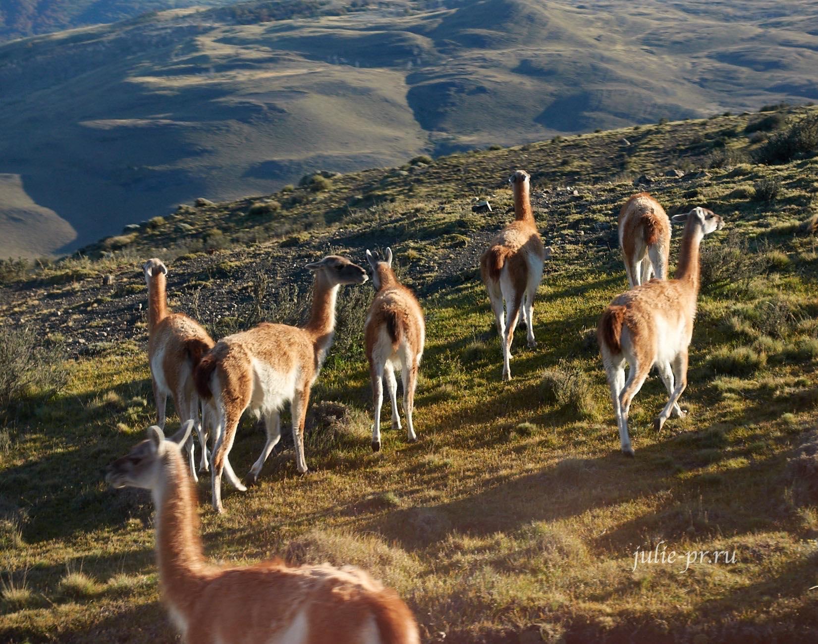 Чили, Патагония, Торрес-дель-Пайне, Гуанако