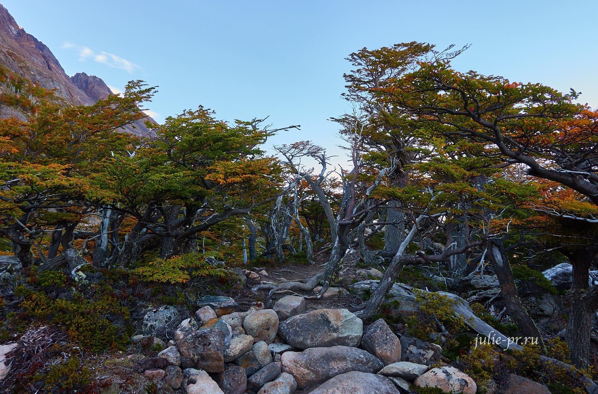Чили, Патагония, Торрес-дель-Пайне, нотофагус лес