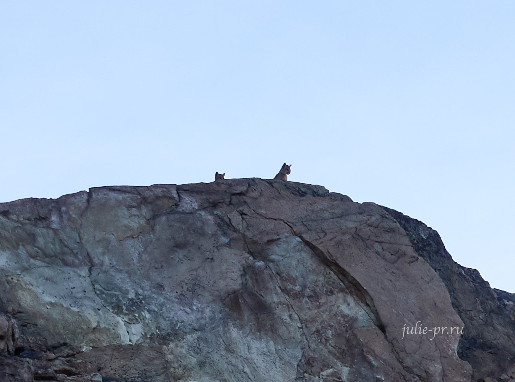 Чили, Патагония, Торрес-дель-Пайне, пума
