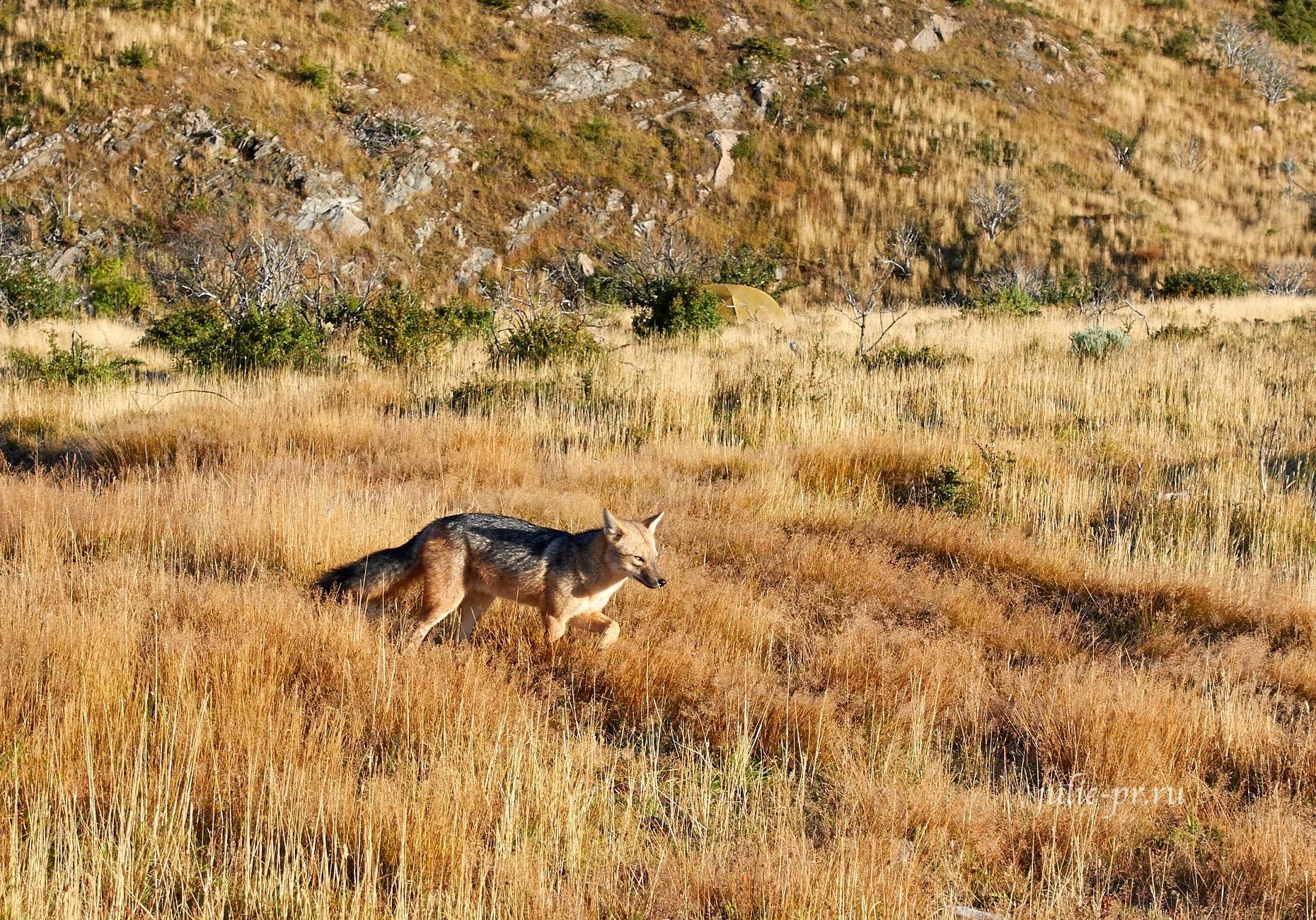 Чили, Патагония, Торрес-дель-Пайне, Андская лисица