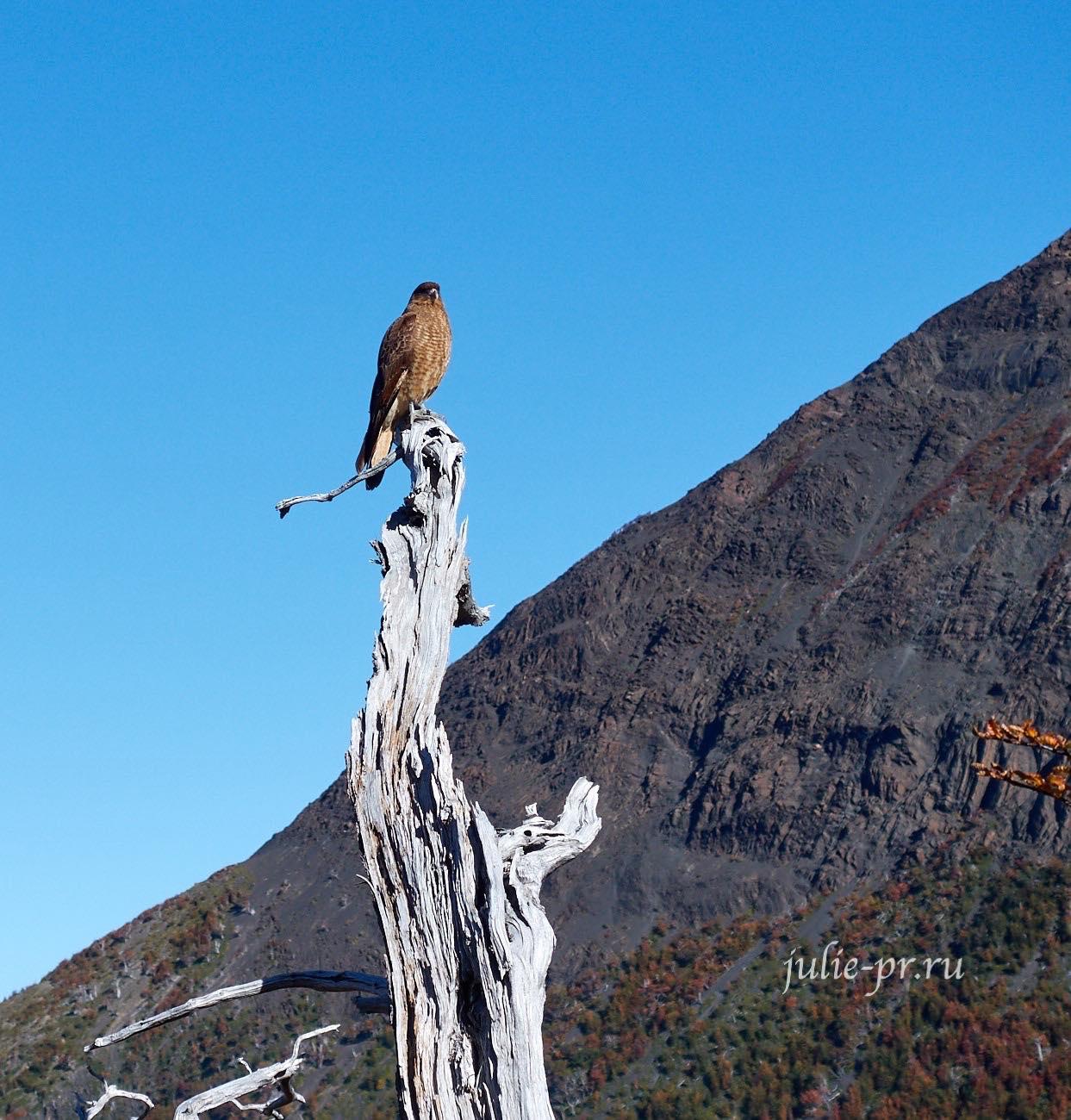 Чили, Патагония, Торрелс-дель-Пайне, Хищная птица