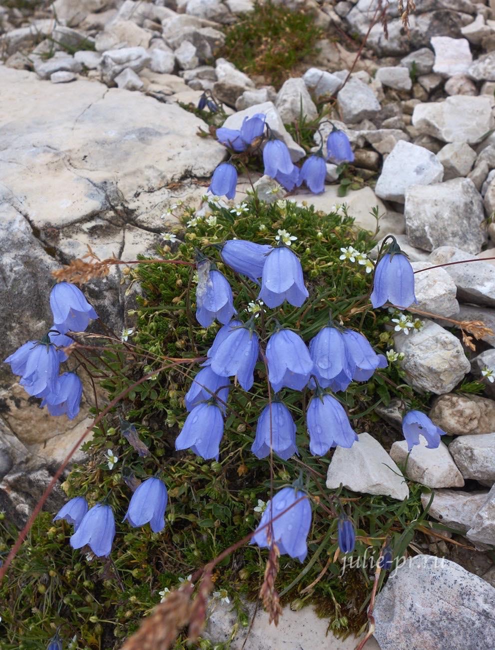 Италия, Альпы, Доломиты, цветы