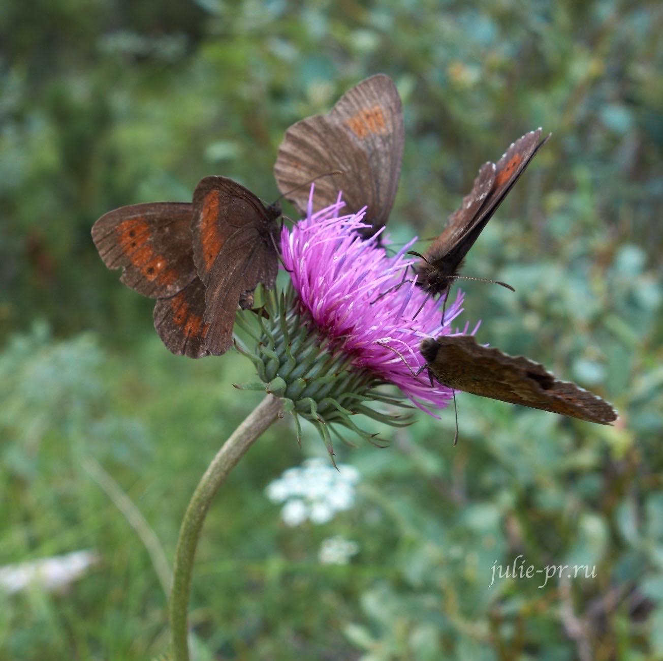 Италия, Альпы, Доломиты, бабочки