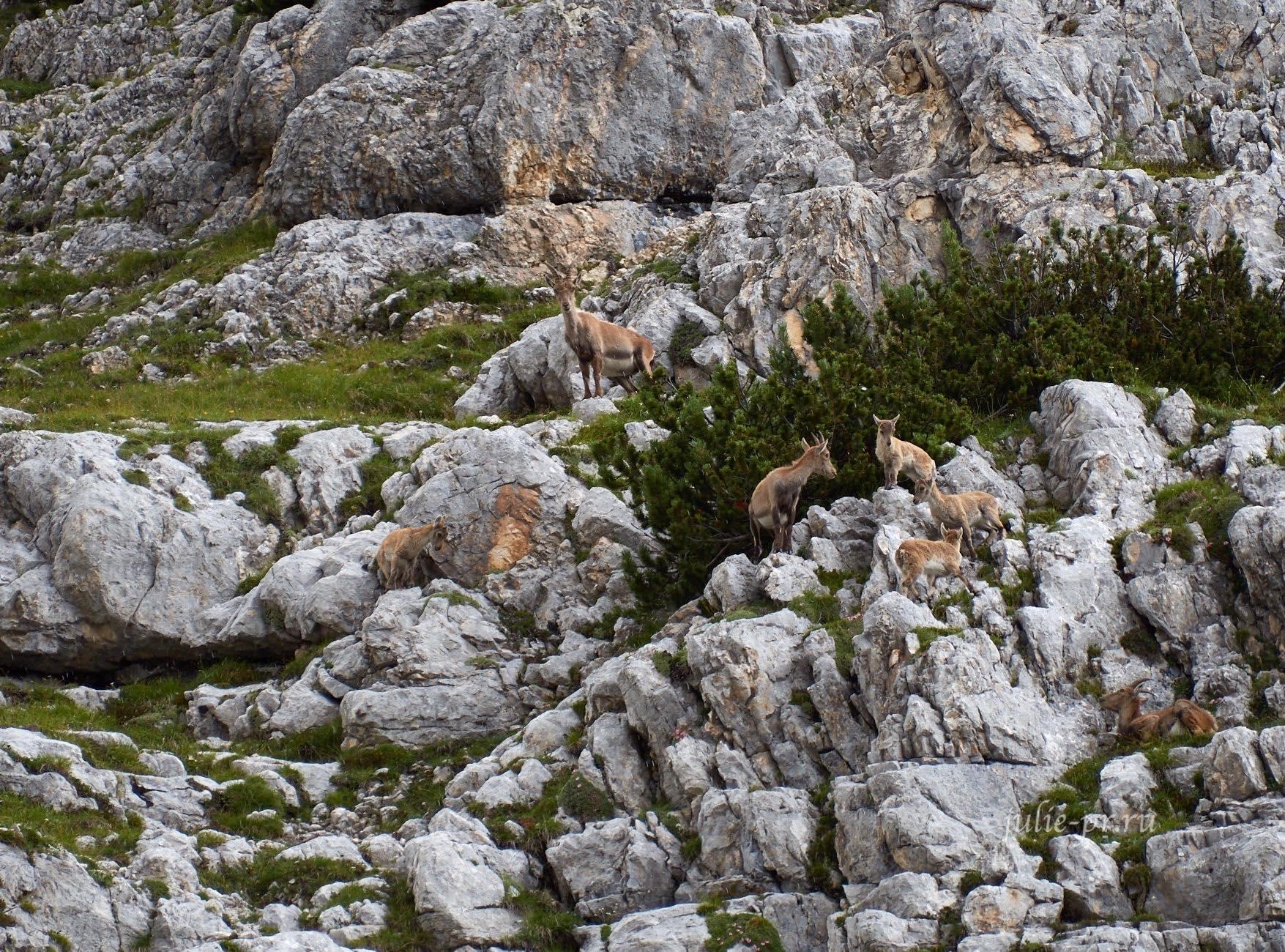 Италия, Альпы, Доломиты, козероги