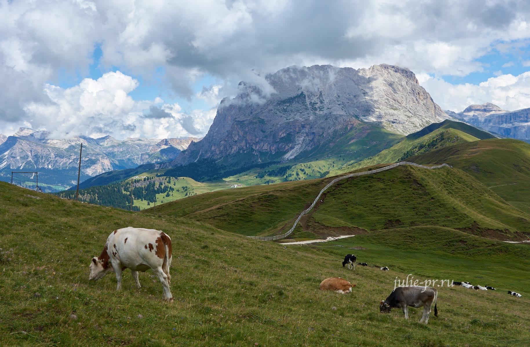 Италия, Альпы, Доломиты, Коровы, Sassolungo