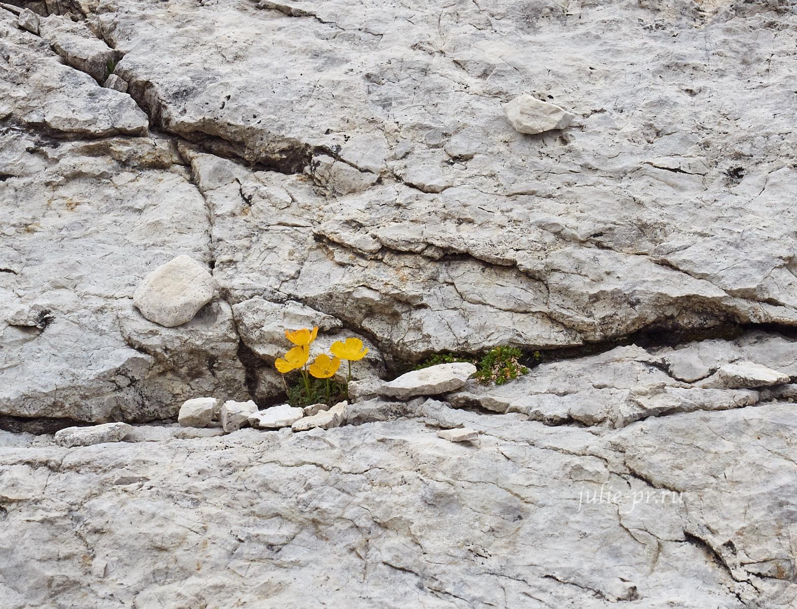 Италия, Альпы, Доломиты, Sella, Цветы