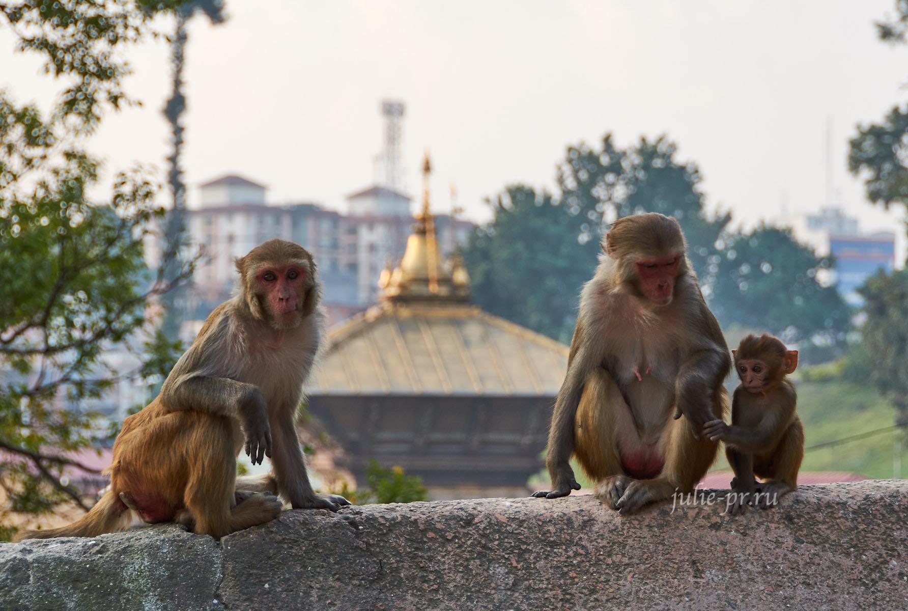 Непал, Катманду, Пашупатинатх, обезьяны