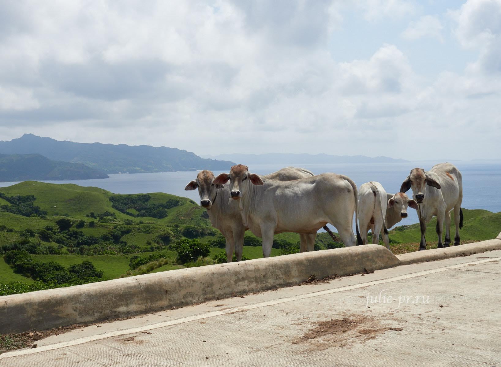 Филиппины, острова Батанес, коровы