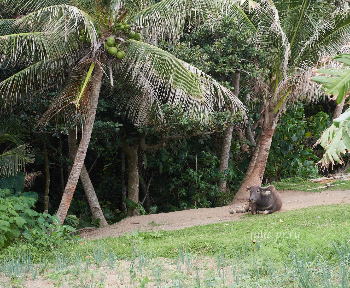 Филиппины, острова Батанес, буйвол