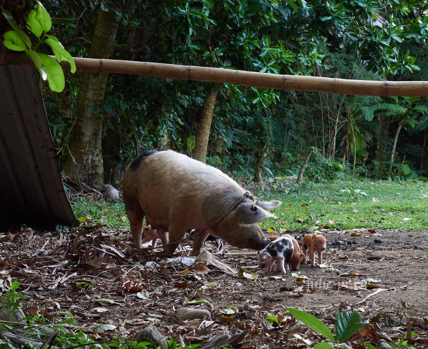Филиппины, острова Батанес, свинья