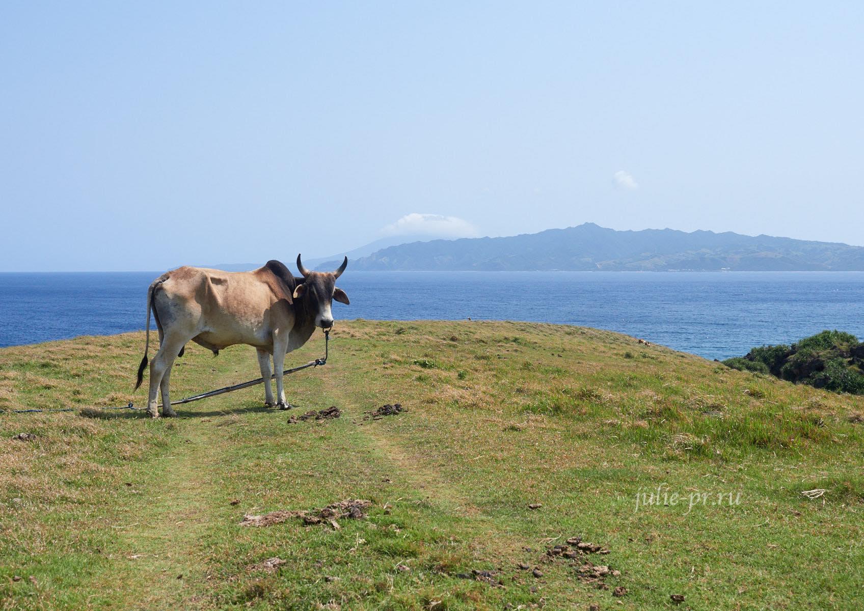 Филиппины, острова Батанес, бык