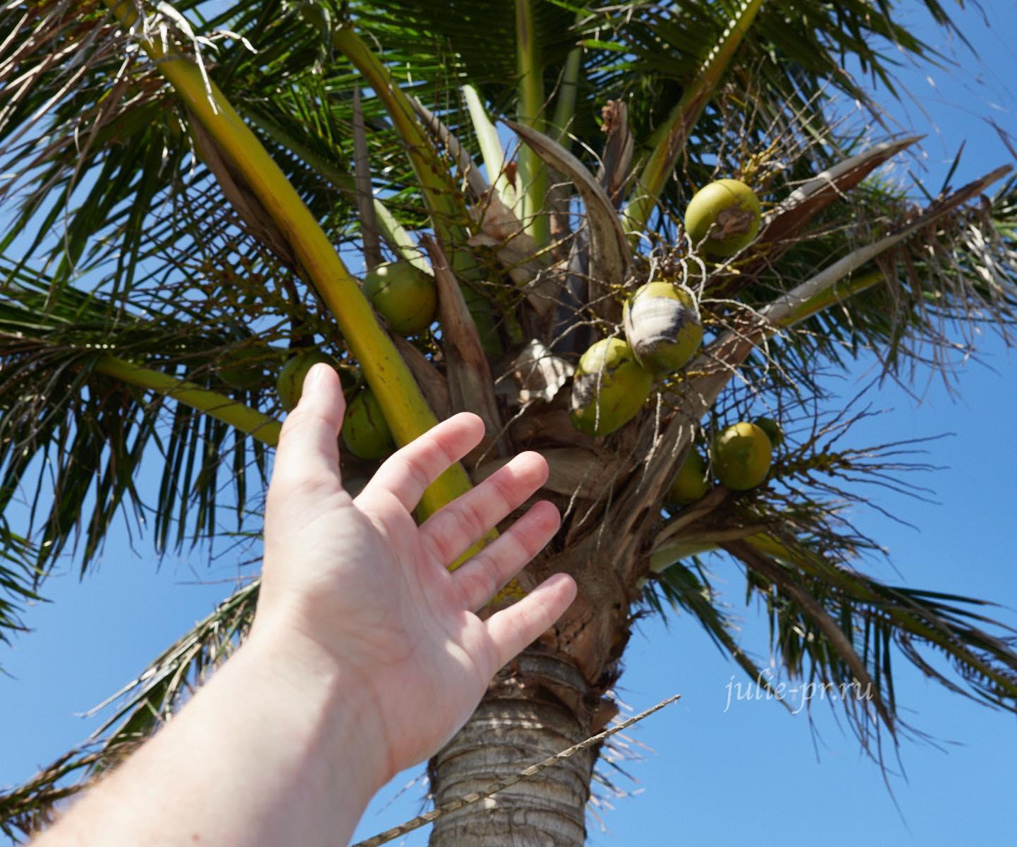 Филиппины, острова Батанес, кокосовая пальма