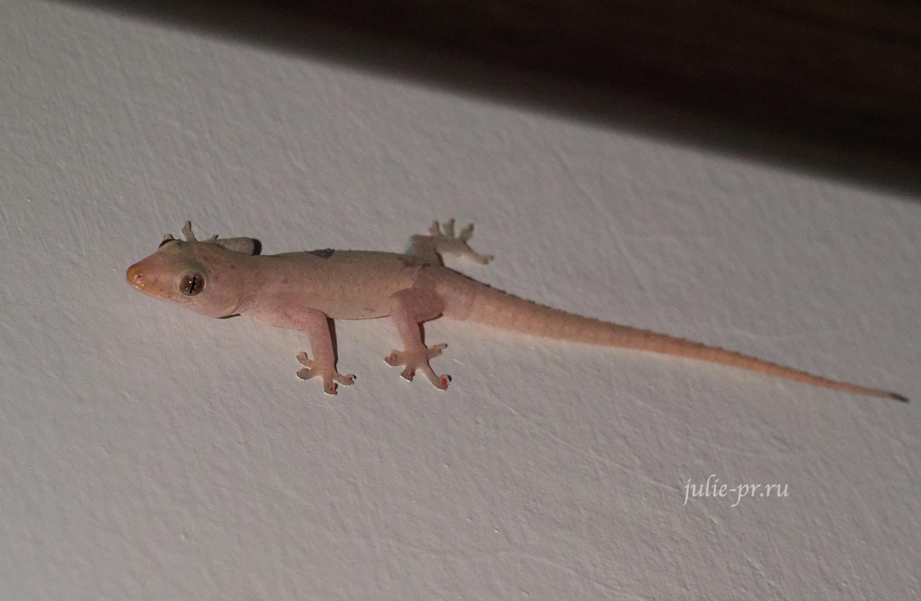Филиппины, острова Батанес, геккон