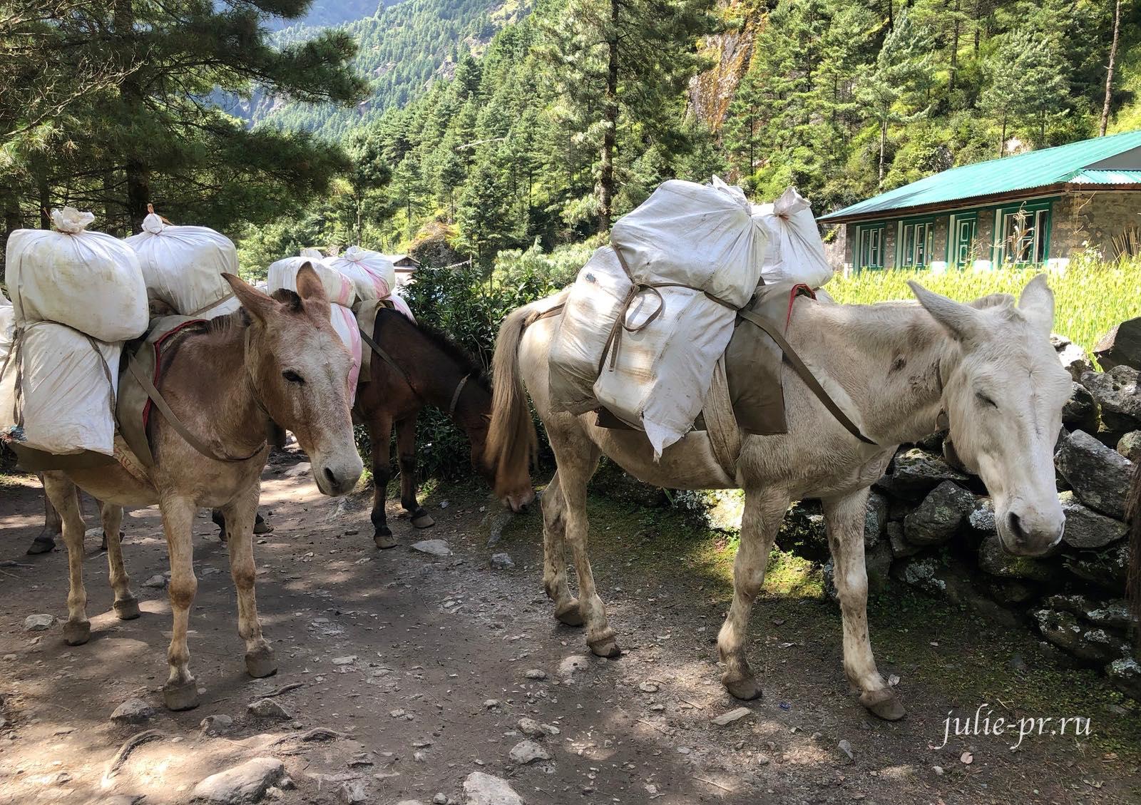 Гималаи, ослы