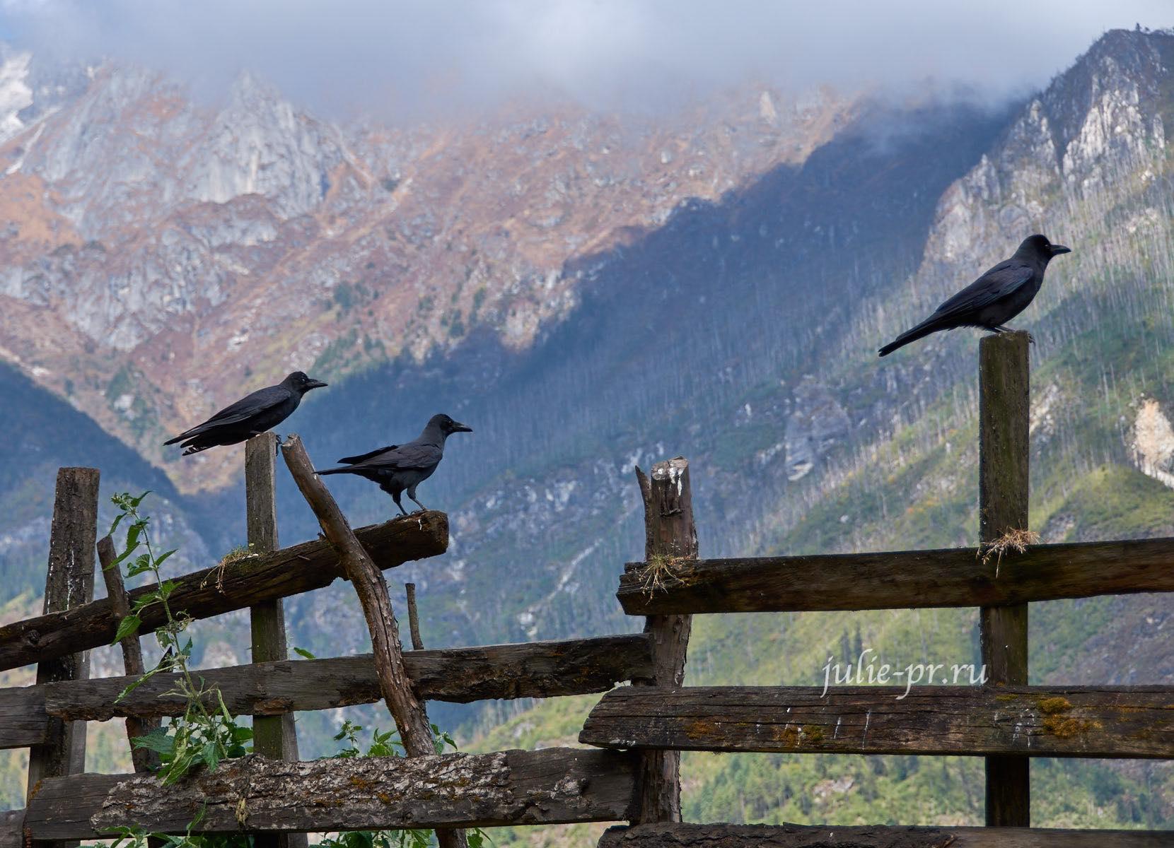 Непал, Трек вокруг Аннапурны, Птицы