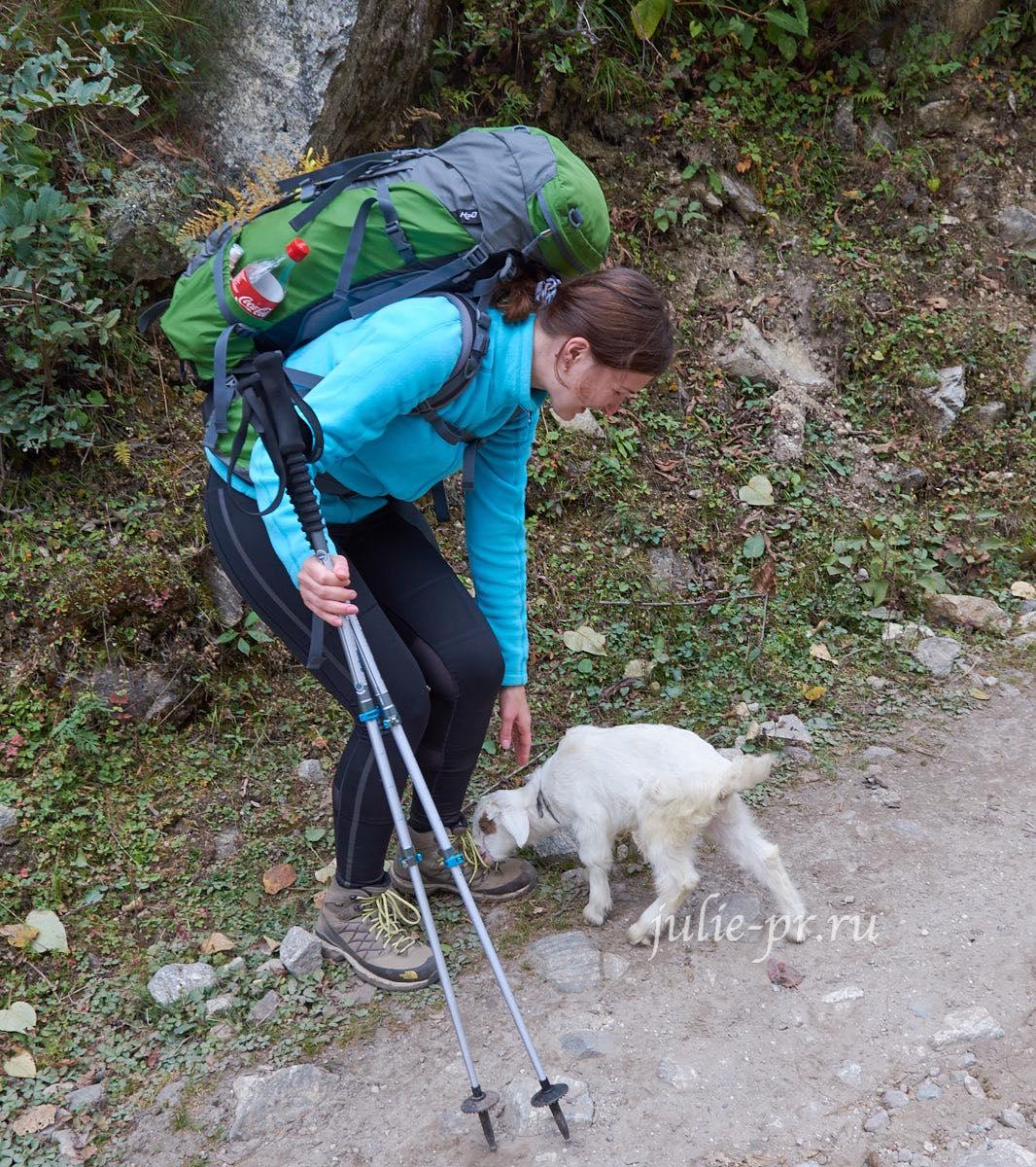 Непал, Трек вокруг Аннапурны, Козлёнок