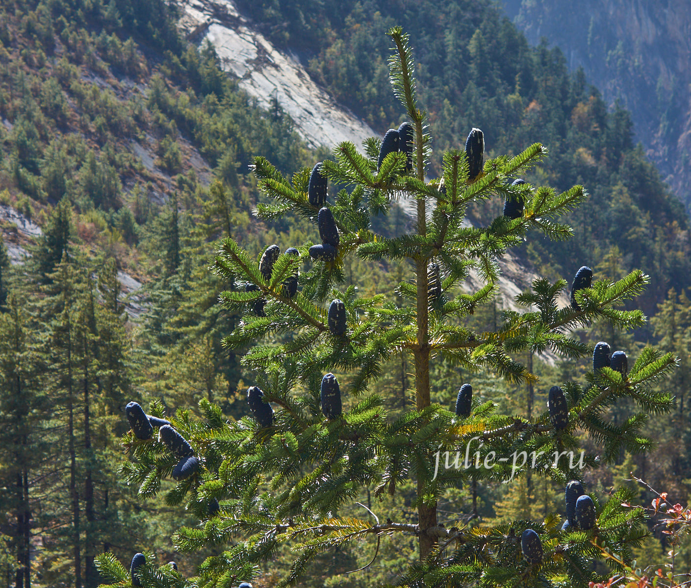 Непал, Трек вокруг Аннапурны, Сосна с шишками
