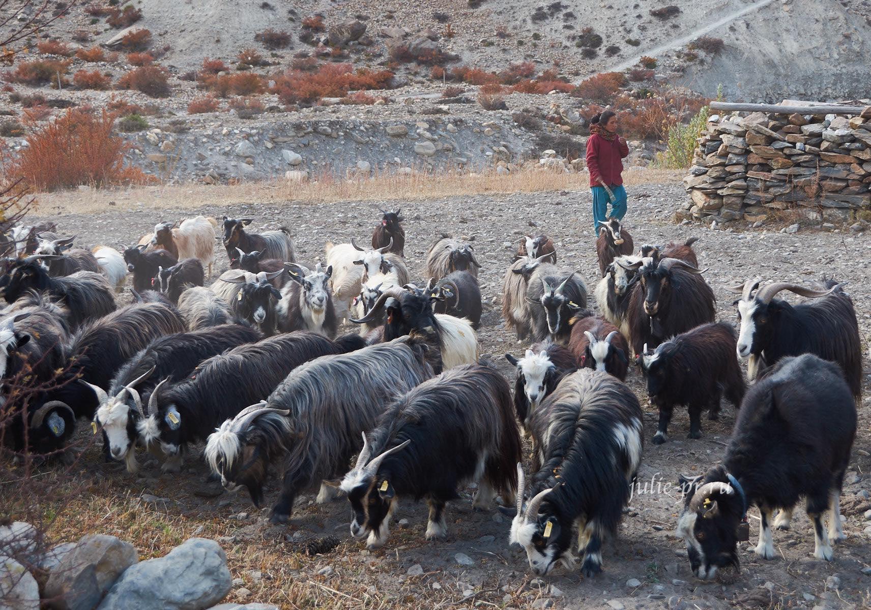 Непал, Трек вокруг Аннапурны, Мананг, Люди, Стадо
