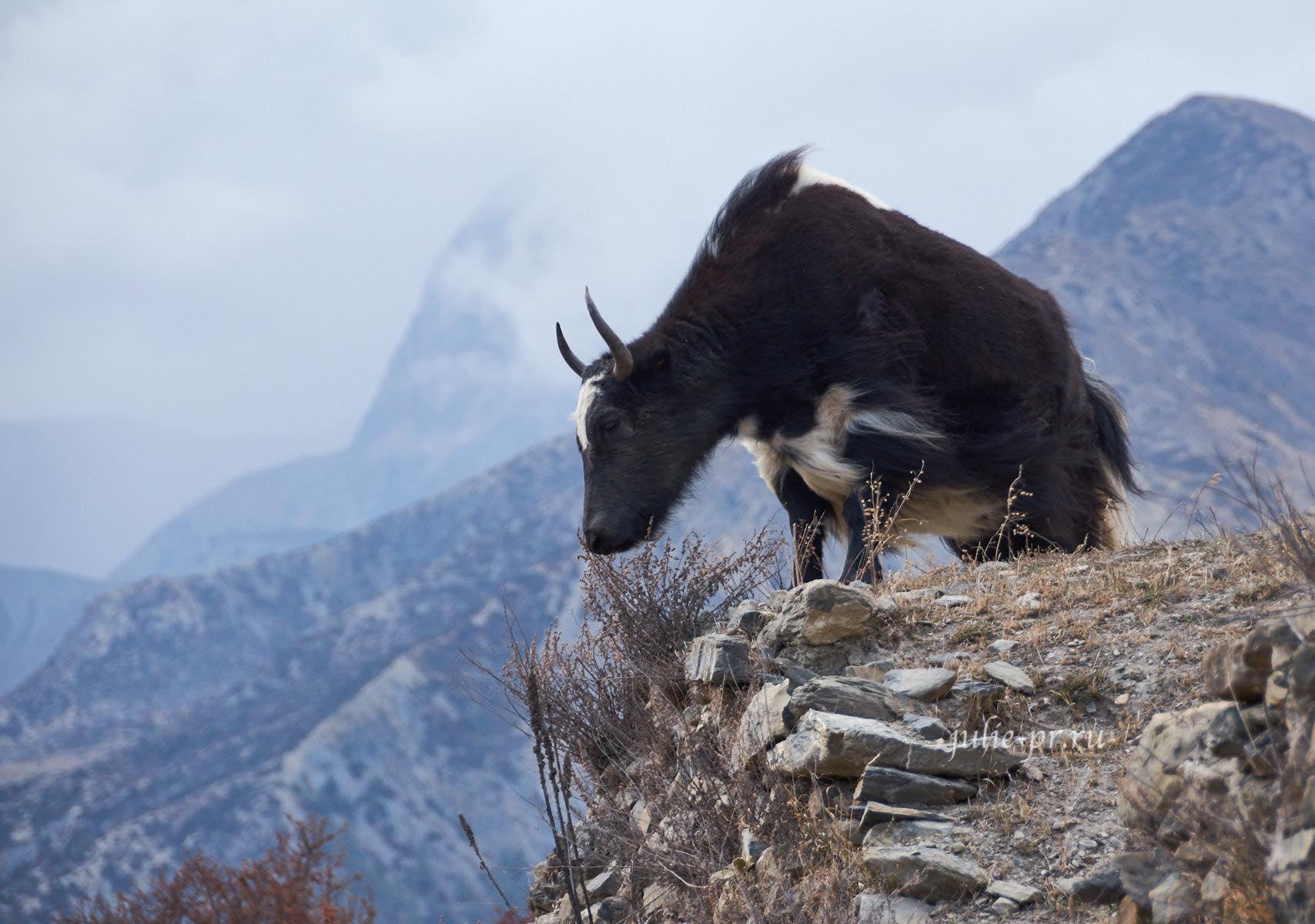 Непал, Трек вокруг Аннапурны, Як