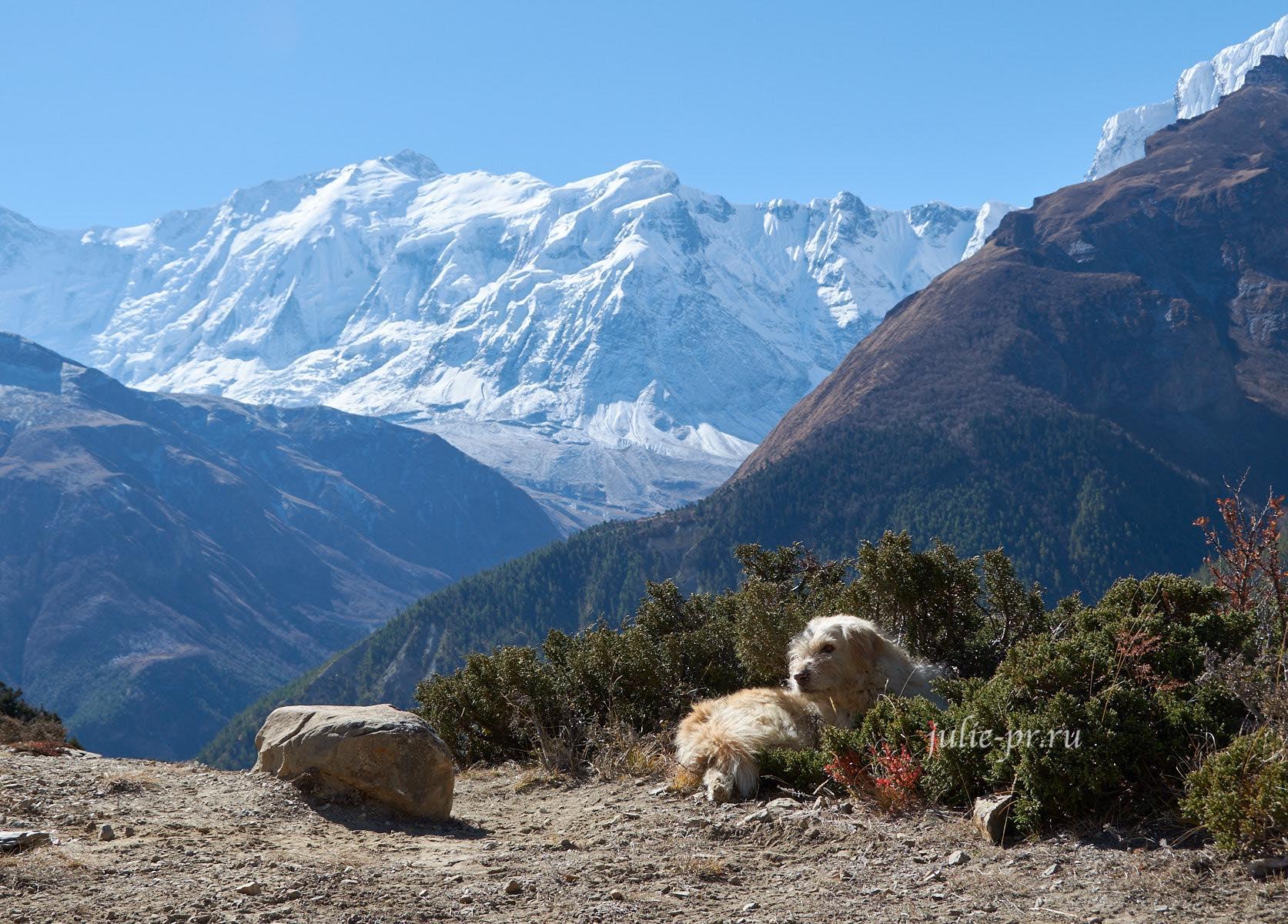 Непал, Трек вокруг Аннапурны, Собака