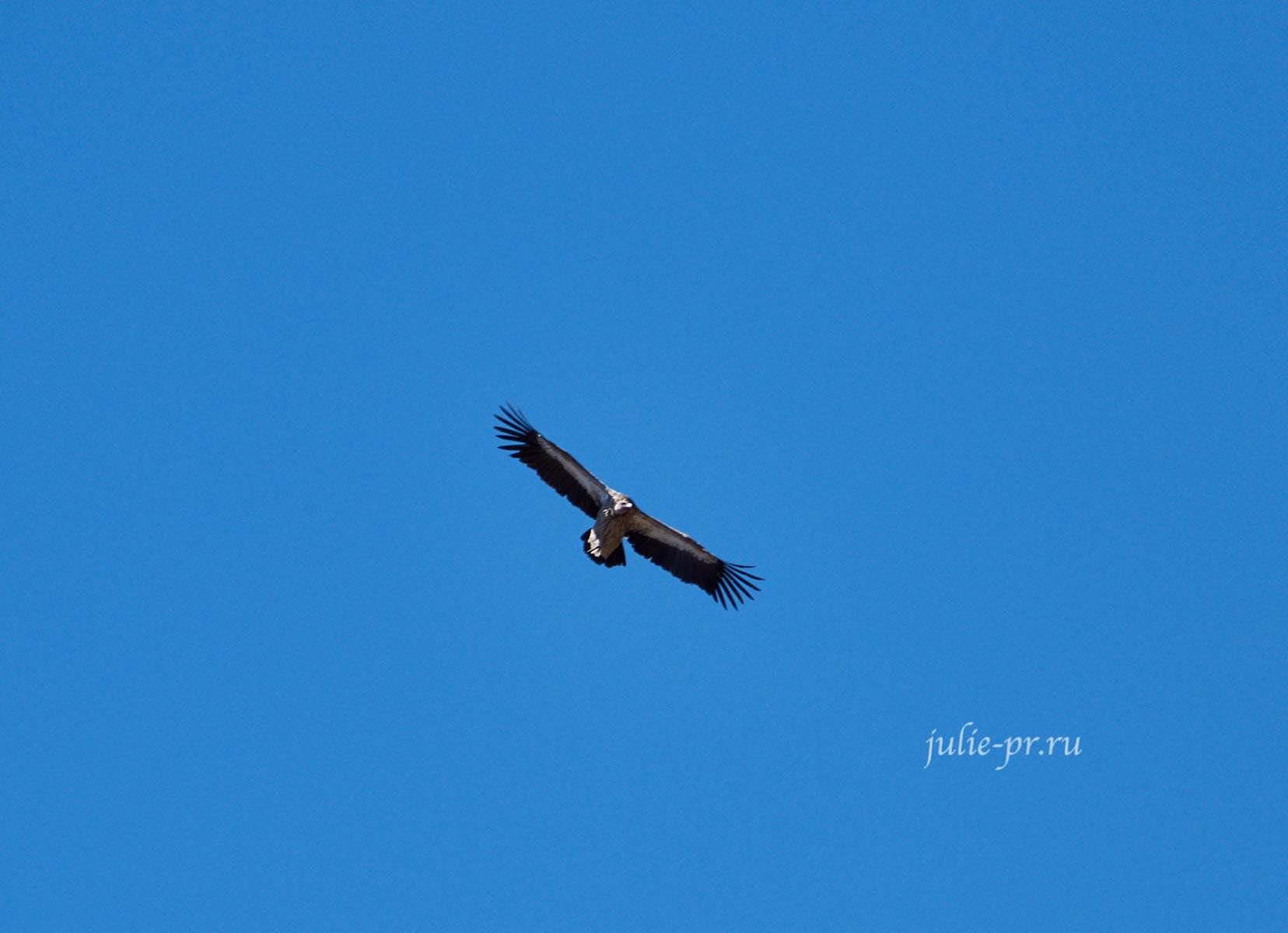 Непал, Трек вокруг Аннапурны, Птица