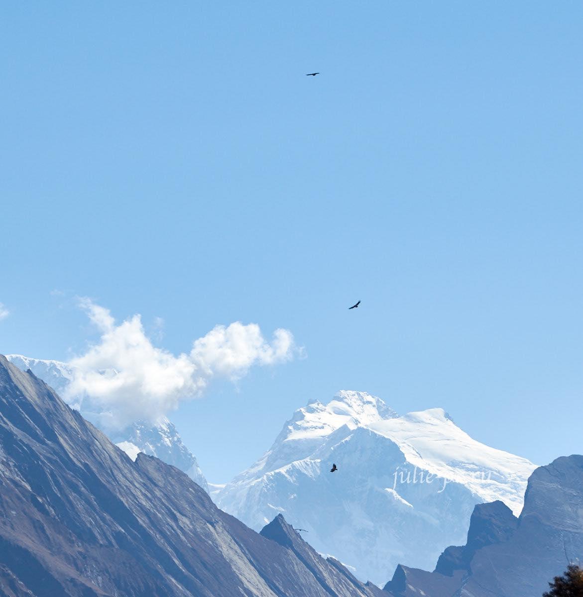 Гималайские грифы