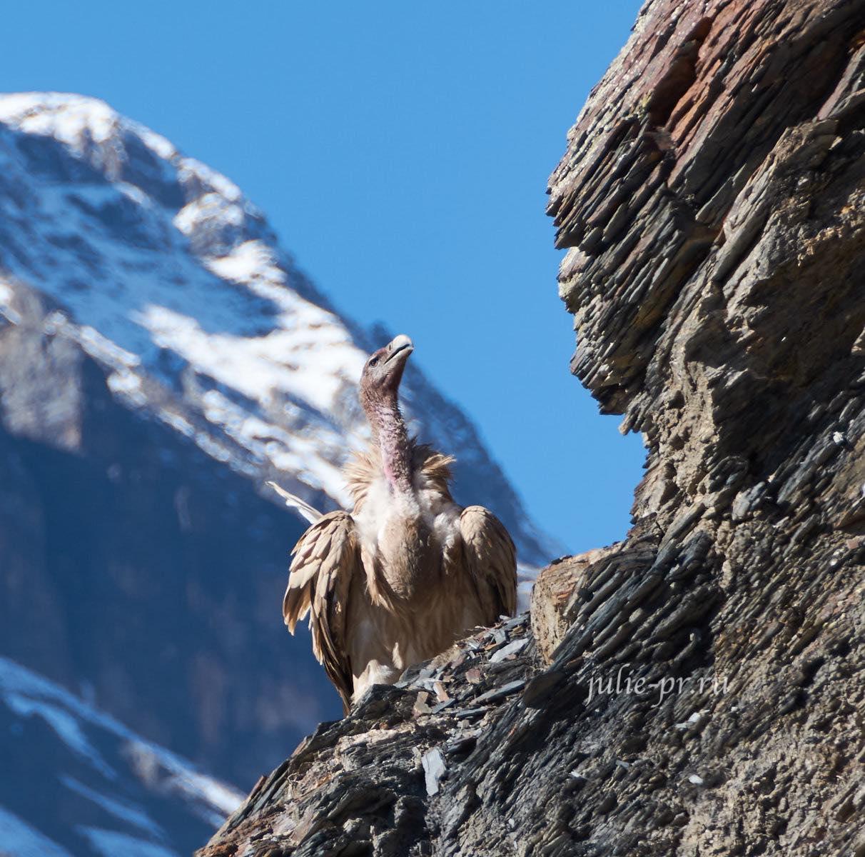 Непал, Снежный гриф