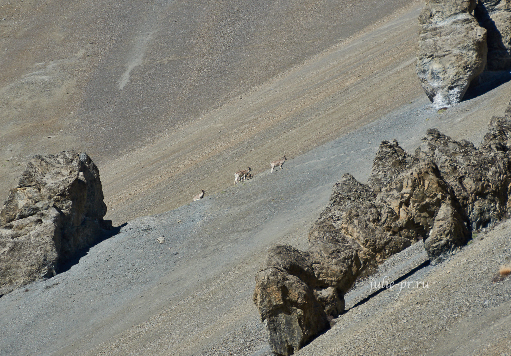 Непал, Тиличо, Осыпи, Бараны