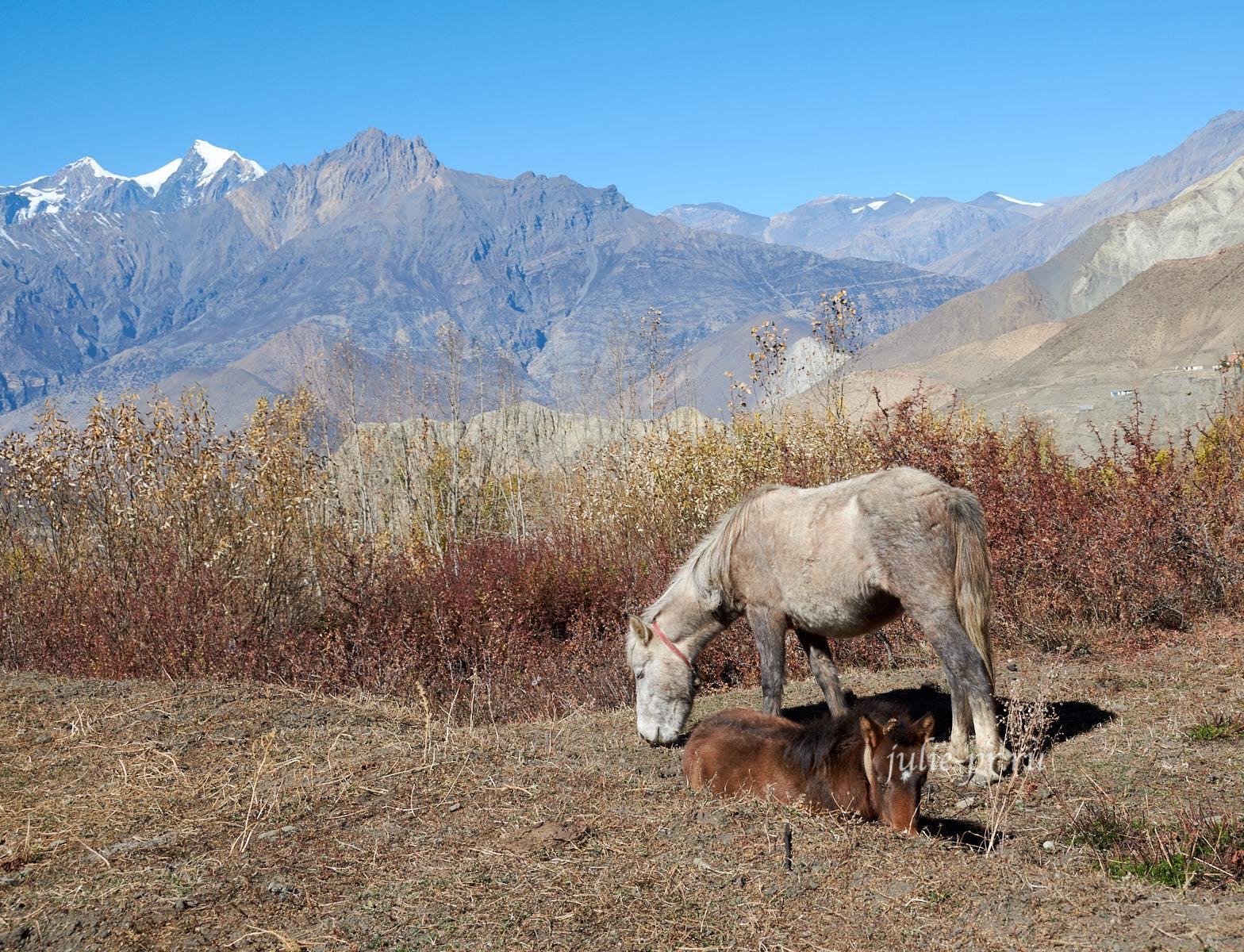 Непал, Муктинатх, Лошади