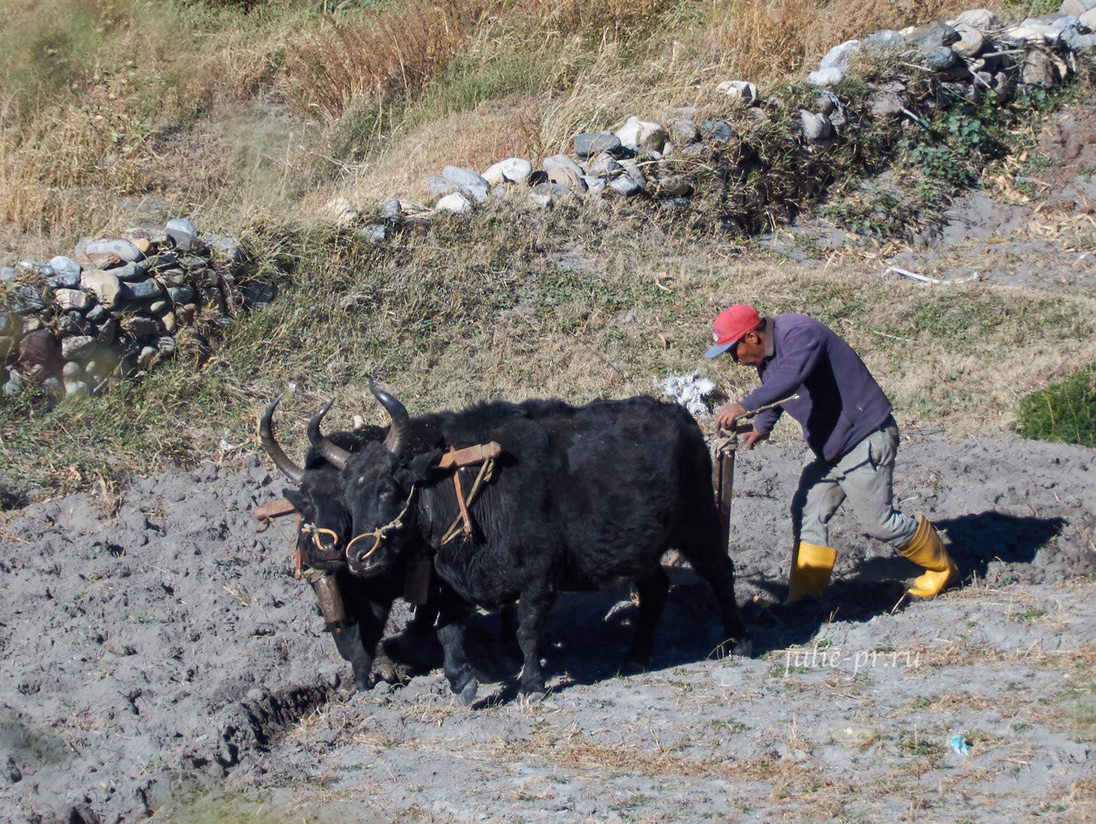 Непал, Кагбени, Буйвол, Крестьянин