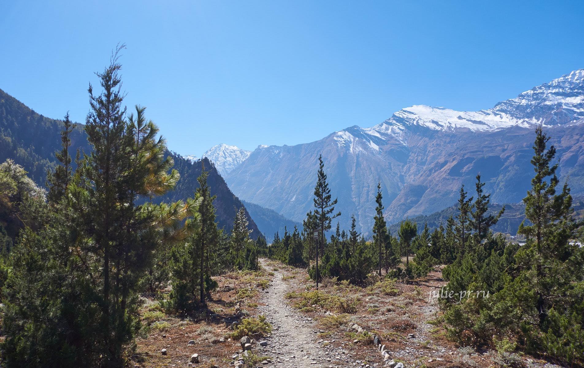 Непал, Трек вокруг Аннапурны, Тропа среди сосен