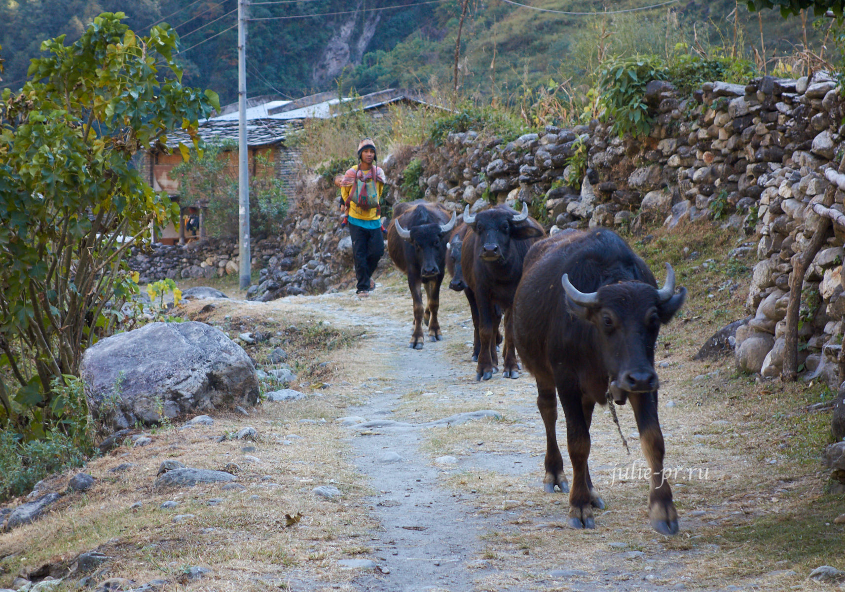 Непал, Трек вокруг Аннапурны, Дана, Буйволы